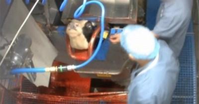 """Animal Rights daagt Hasselts slachthuis voor de rechter: """"Verschrikkelijke dierenmishandeling"""""""