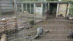 Vijftien hangbuikzwijnen in beslag genomen bij opdoeken wietplantage in Mol