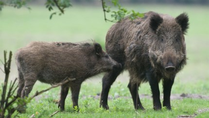 """Natuurvereniging beschuldigt jagers ervan everzwijnen op grote schaal bij te voederen: """"Hopen op veel schade, en dan de redder in nood gaan zijn"""""""
