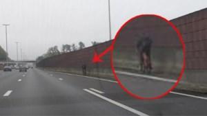 Levensgevaarlijke toeren op autosnelweg: fietser rijdt rustig op E40 in Drongen