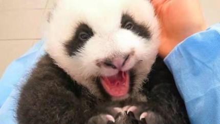 Kleine panda's worden steeds schattiger (en ondeugender) in Pairi Daiza