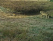 Voor het eerst in lange tijd nieuwe beelden van August: wolf is gezond en wel