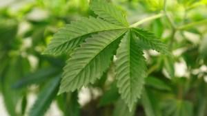 Actieve cannabisplantage opgedoekt door verkeerscontrole