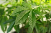 Actieve cannabisplantage opgedoekt dankzij verkeerscontrole