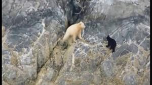 Toeristen leggen uiterst zeldzame beer vast op beeld