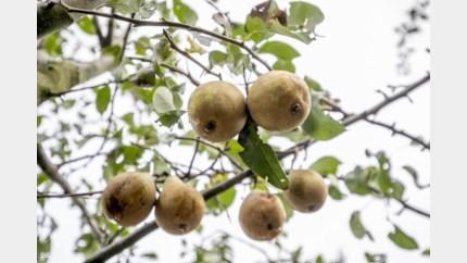 Limburgse peren vinden in Japan mogelijk nieuwe afzetmarkt