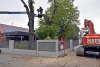 Drie zieke lindebomen gekapt