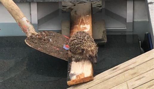 Truienaars bouwen ingenieuze constructie om egel uit benarde positie te bevrijden