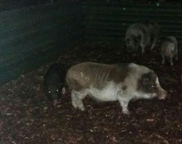 Hangbuikzwijn en drie kippen in beslag genomen op domein Kelchterhoef