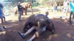 Dit babyolifantje denkt dat hij een schoothond is
