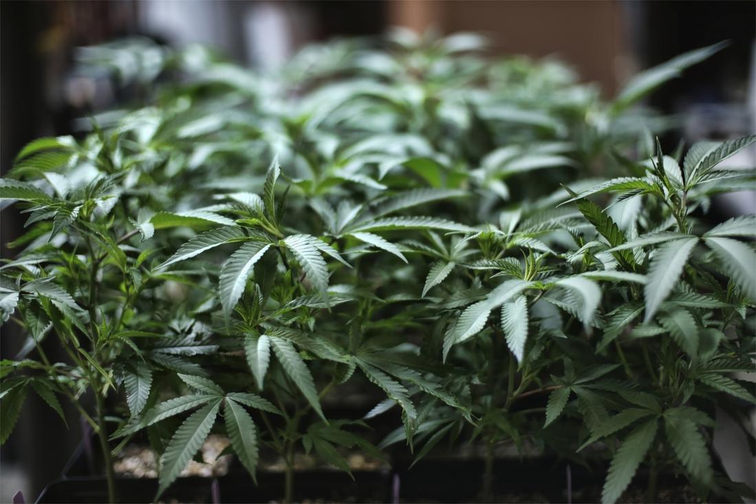 Tot 40 maanden cel voor jonge Peerse cannabistelers (Peer) - Het Belang van Limburg