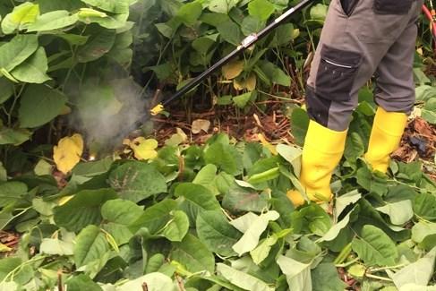 Belgische primeur: Limburgs bedrijf elektrocuteert agressieve exotische planten