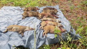 Afschotcijfer everzwijnen stevent af op record van 2.000 stuks