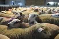Opnieuw twee schapen doodgebeten: deze keer in Hechtel