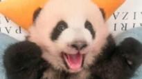 Babypanda uit Pairi Daiza lacht voor het eerst met zijn tandjes bloot