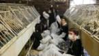 """Animal Resistance bezet eendenkwekerij en supermarkt: """"Verbied foie gras"""""""