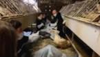"""Animal Resistance reageert op kritiek na actie bij foie gras-producent: """"De mortaliteit ligt sowieso hoog"""""""