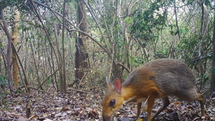 Uitgestorven gewaand, maar opnieuw ontdekt in Vietnam: het zilverrugmuishert