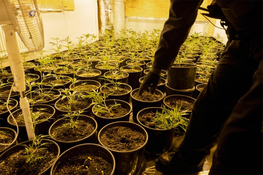 Wietplantage in huurhuis van koppel met zes kinderen: 576.576 euro winst - Het Belang van Limburg