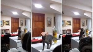 Deze kat kan beter afwassen dan u