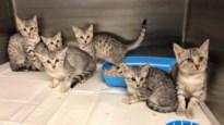 Alle peperdure exotische kittens terecht na crash in Bilzen