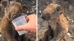 Hartverscheurende beelden van verschroeide koala gaan de wereld rond