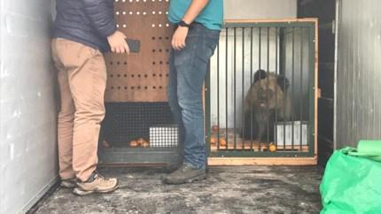 Albanese weesbeertjes onderweg naar Natuurhulpcentrum