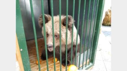 Van de dood geredde Albanese weesbeertjes aangekomen in Natuurhulpcentrum
