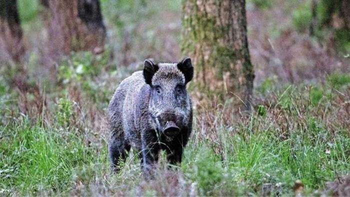 Wilde zwijnen snuiven voor 20.000 euro cocaïne op in bos