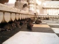 Camera's ingezet in strijd tegen ratten op Lutselusplein