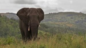 België speelt rol bij illegale handel in ivoor die Afrikaanse olifant bedreigt