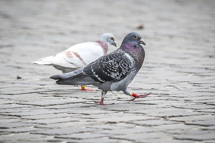 Voedselagentschap bevestigt uitbraak paramyxovirose bij duivenhouder in Houffalize