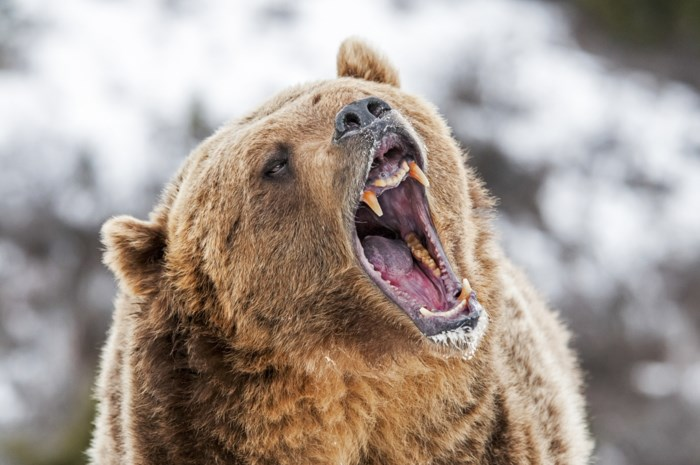 Uitbater grootste Russische dierenpark dreigt 30 beren af te slachten
