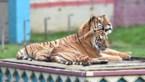 """Bellewaerde moet twee tijgers laten inslapen: """"We zullen hen missen"""""""