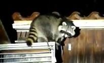 Wasbeer laat zich doodleuk bovenop duiventil in Rijkhoven filmen