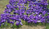 Stad plant 40.000 bloembollen