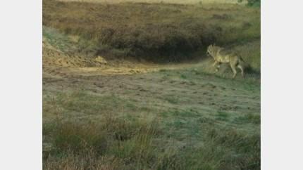 Wolf slaat weer toe: schaap doodgebeten