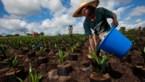 België investeert mee in Congolees palmoliebedrijf dat het niet zo nauw neemt met regels