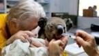 Verbrande koala overleeft verwondingen niet