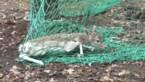 Damherten Molenheide zorgen voor overlast: eerste negen dieren vandaag gevangen