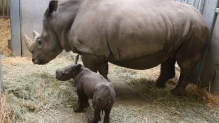 Heuglijk nieuws uit Pairi Daiza: kleine neushoorn geboren, tweede op komst