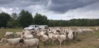Vlaamse overheid verkoopt 90 schapen