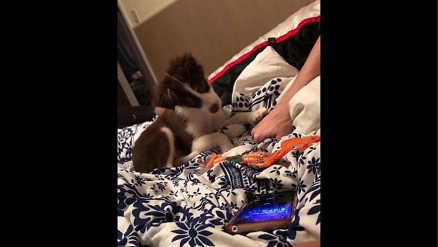 Puppy heeft slim trucje om langer in bed te blijven liggen