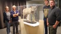 Wolven op bezoek in Mariahof