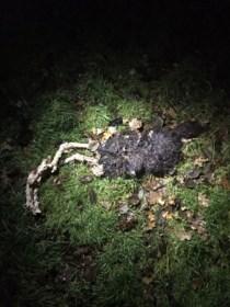 Drie schapen doodgebeten in weide in Kerkhoven