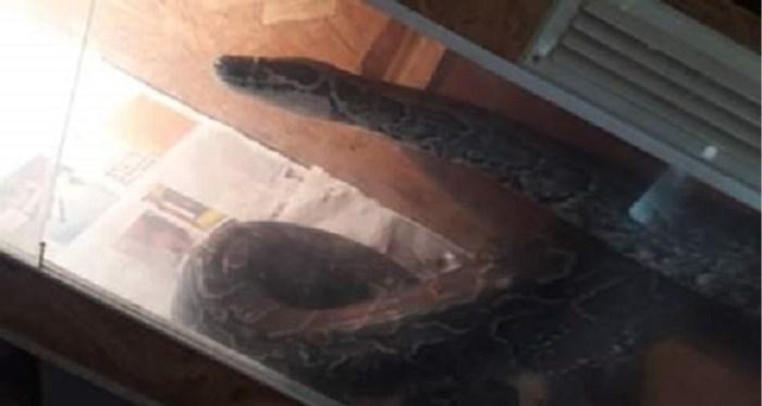 Maand na uitbraak van agressieve python moet brandweer opnieuw ingrijpen bij man uit Veurne