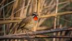 Zeldzame vogel voor het eerst in ons land waargenomen, nadat kat hem vangt