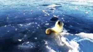 Ijsberen jagen onder het ijs achter drone