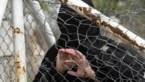 Twee IS-weduwes veroordeeld tot gevangenisstraffen van 4 jaar en 40 maanden