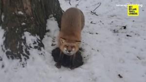 Onwaarschijnlijk schattig: geredde vosjes laten zich knuffelen in de sneeuw